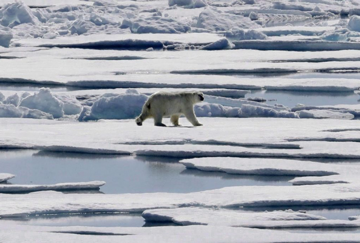 polar bear, sea ice, floating, Victoria Strait, Canadian Arctic Archipelago,