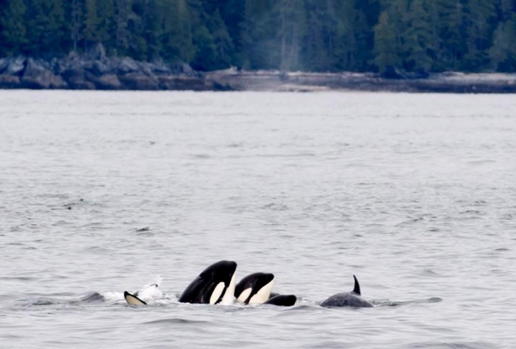 Orca whales, Chatham Sound, Prince Rupert,