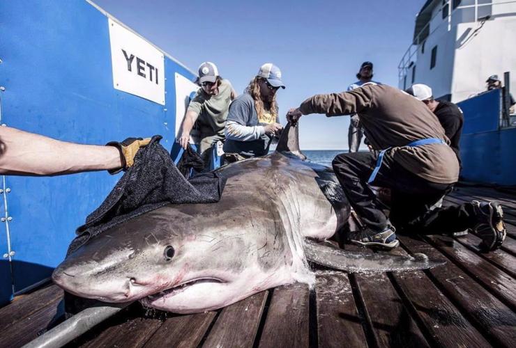 shark, Hilton,