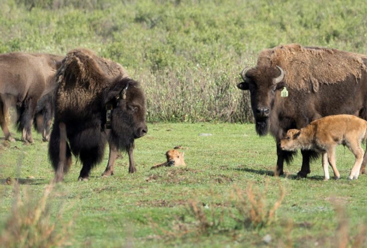 bison cows, birth, calves, Banff National Park,