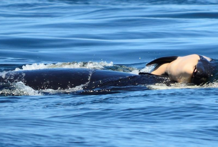 Center for Whale Research, baby orca whale, Canada coast, Victoria,