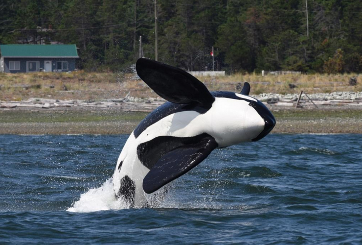 male killer whale,