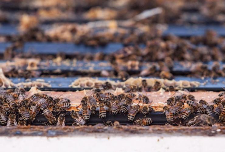 Bees, Alberta beekeeper, Grant Hicks,