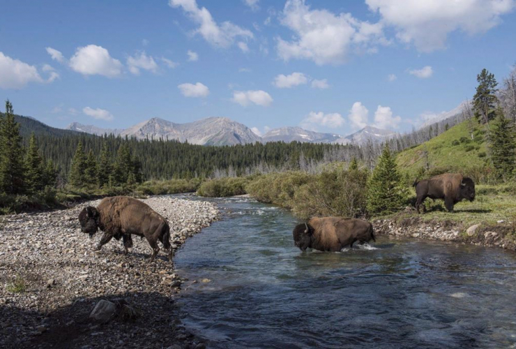 Wild plains bison, Panther River, Banff National Park,