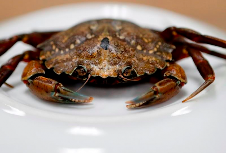 This June 6, 2018, file photo shows a green crab in Portland, Maine. A University of New England researcher said green crabs migrating from Nova Scotia are ornerier and angrier than their Gulf of Maine cousins. Robert F. Bukaty, File AP Photos