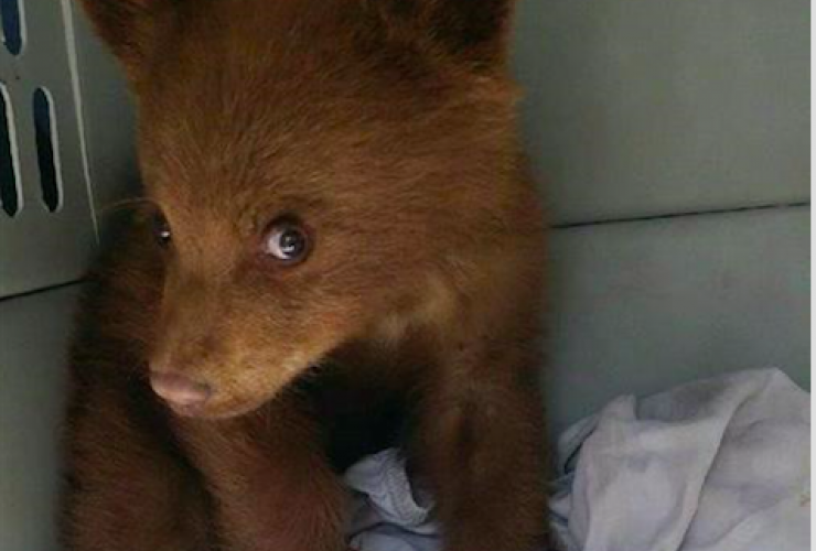 An orphaned black bear cub is pictured in a handout photo from Alberta Environment. Photo from The Canadian Press