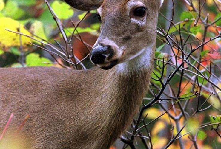 deer, woods, Mont Tremblant,