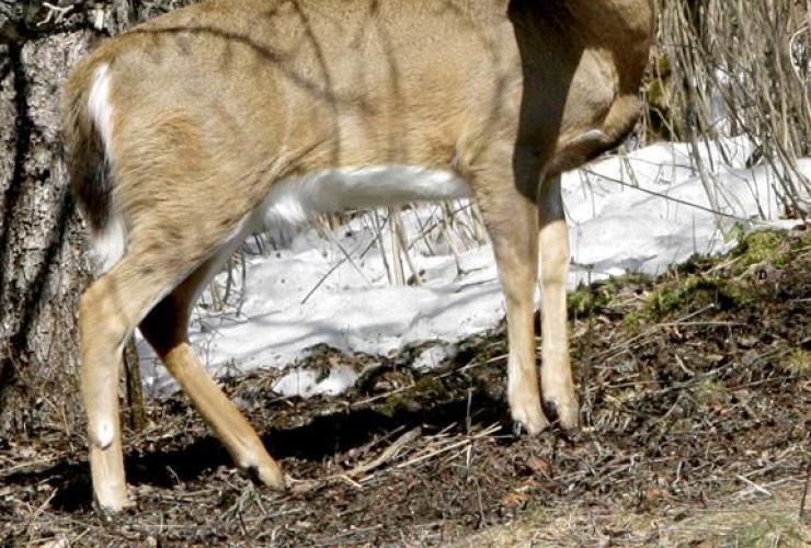 deer, grazing,