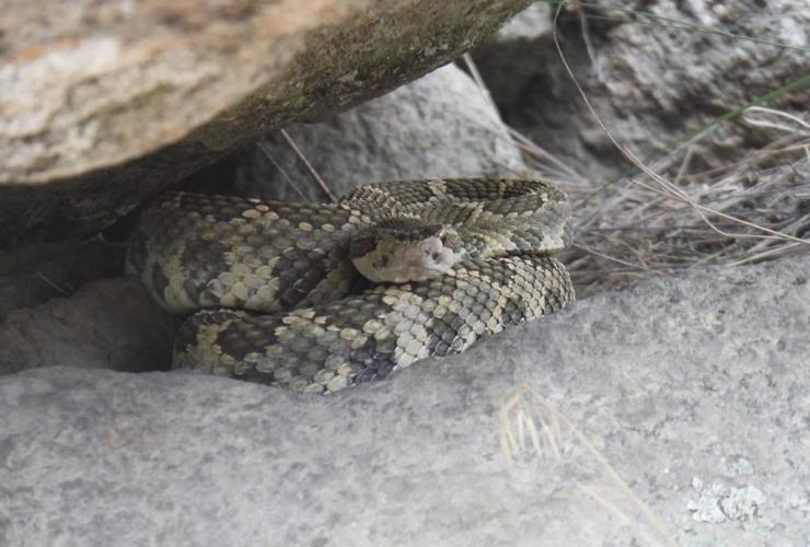 western rattlesnake, Okanagan Valley, British Columbia,