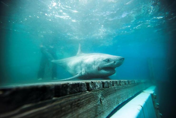 white shark, Nova Scotia,