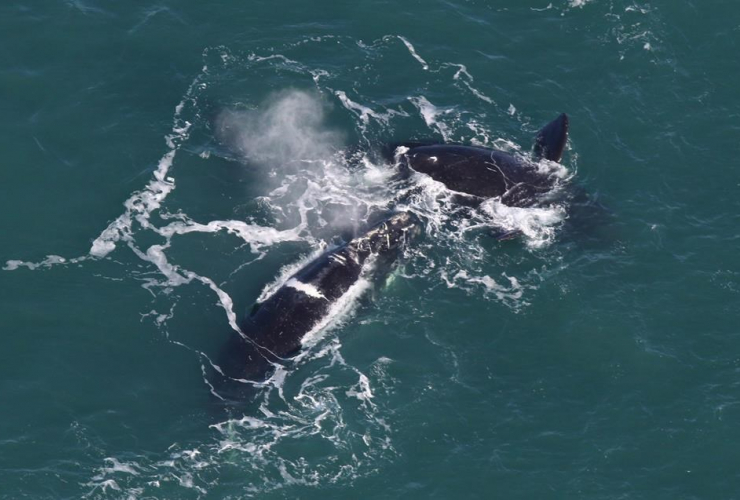 Right whales, Center for Coastal Studies,