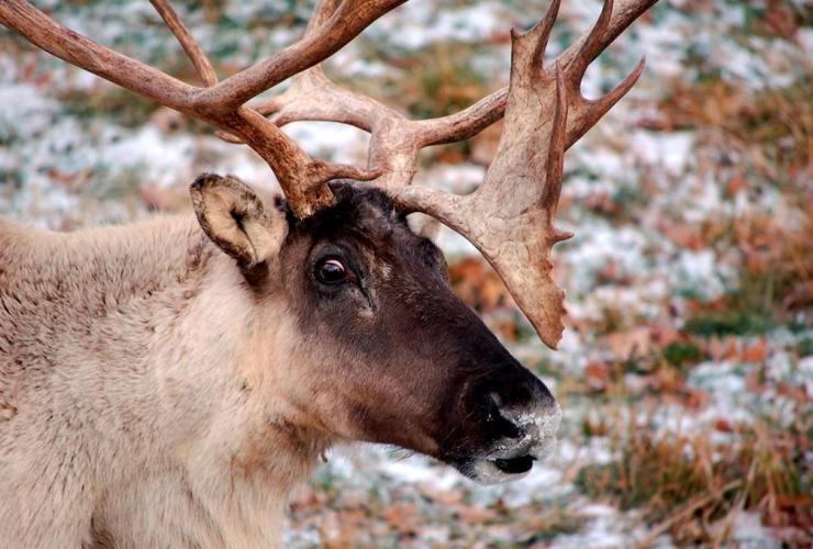 caribou,