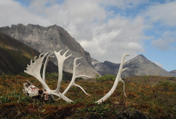 National Park Service, male caribou antlers, Oolah Valley,
