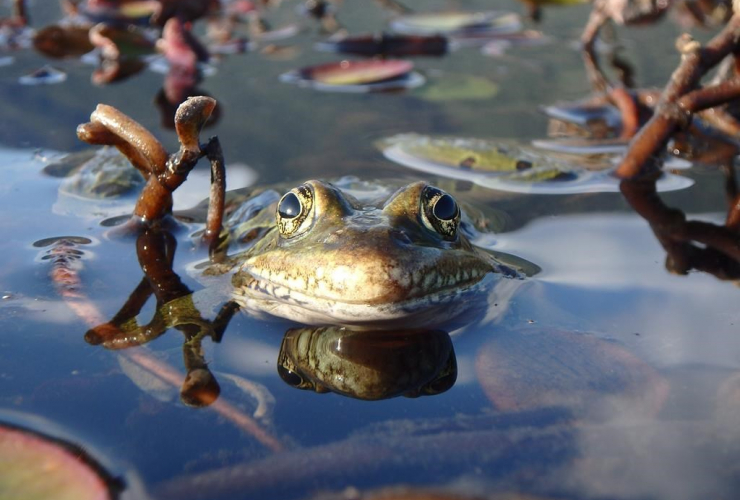 northern leopard frogs, B.C., bullfrogs, invasive species,