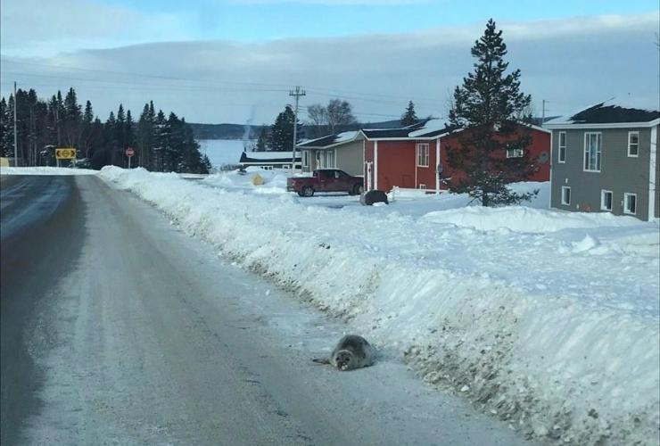 seal, road, Roddickton,