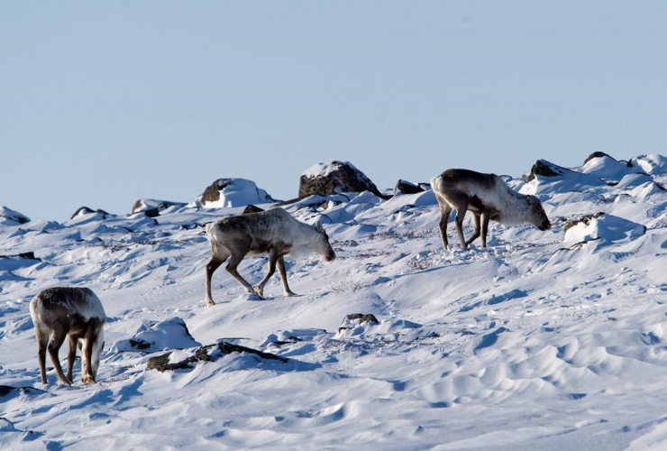 Wild caribou, Meadowbank Gold Mine,