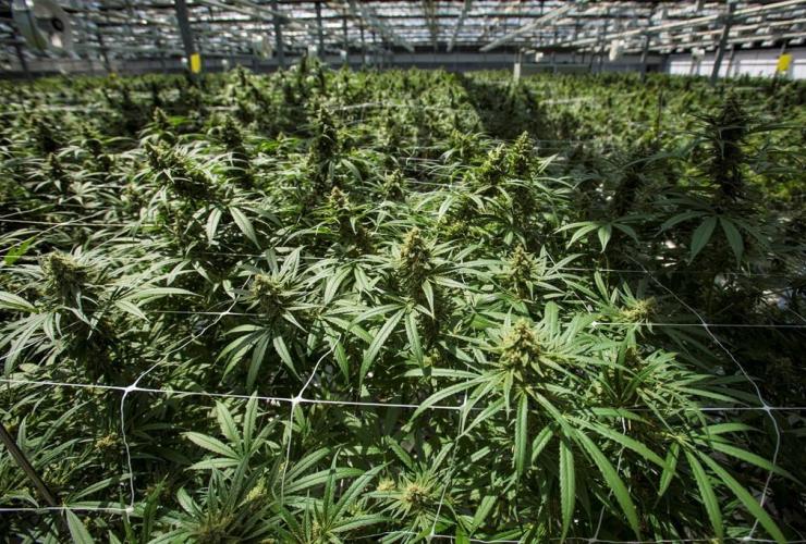 cannabis plants, CannTrust, Niagara Greenhouse Facility,
