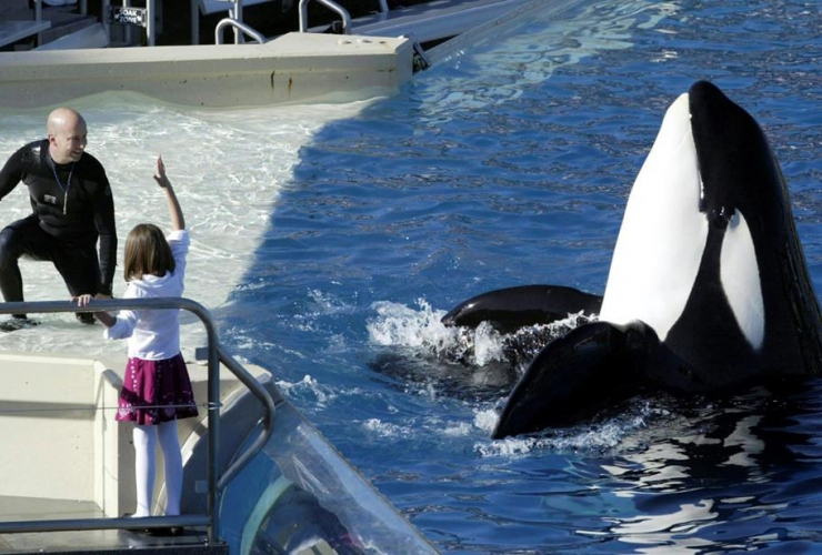 SeaWorld Adventure Park, trainer, Ken Peters, orca, performance, Shamu Stadium, San Diego,