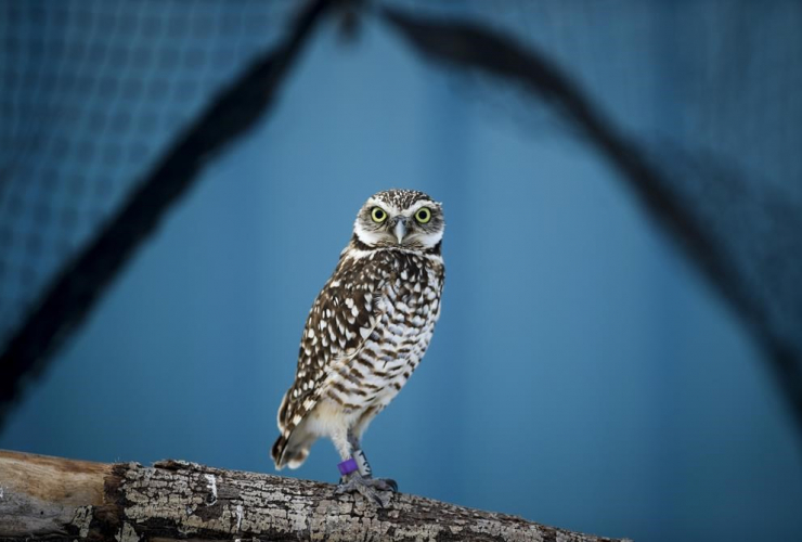 Burrowing Owl, Calgary Zoo Conservation Centre, Calgary, Alta.,
