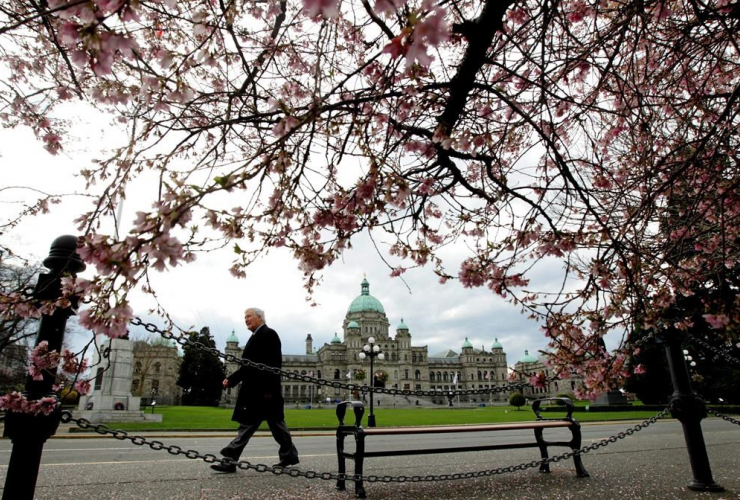 British Columbia Legislature, cherry blossoms, Victoria,