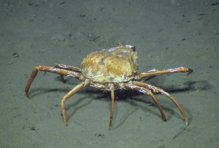 Tanner crab, Barkley Canyon, northeast Pacific Ocean,