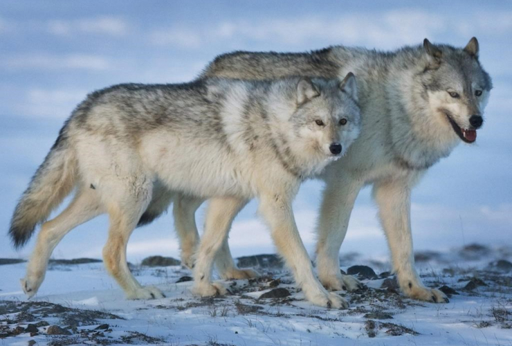 female wolf, male wolf, tundra, Meadowbank Gold Mine, Nunavut Territory,