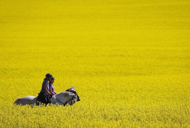 Riders, horses, canola field,