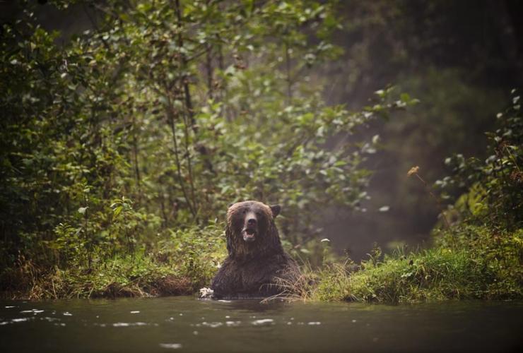 Grizzly bear, Khutze Inlet, Princess Royal Island,
