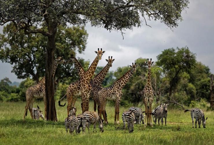 giraffes, zebras, Mikumi National Park, Tanzania,