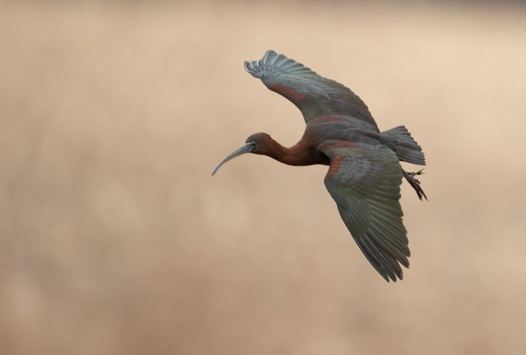 glossy ibis, Brookfield,
