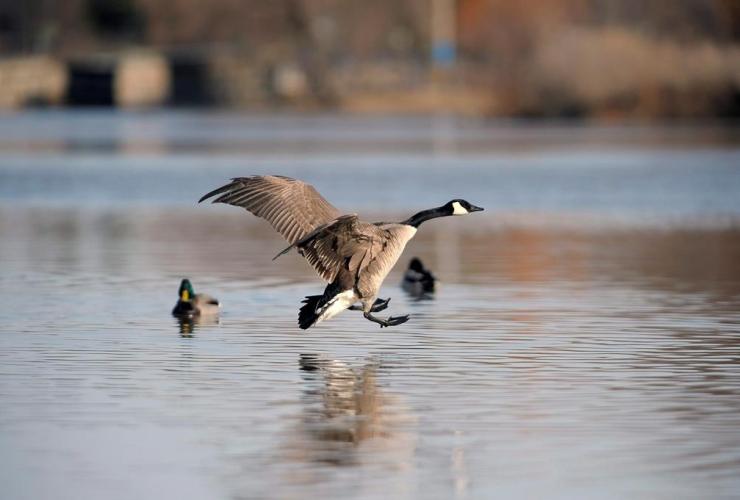 goose, Wascana Centre in Regina,