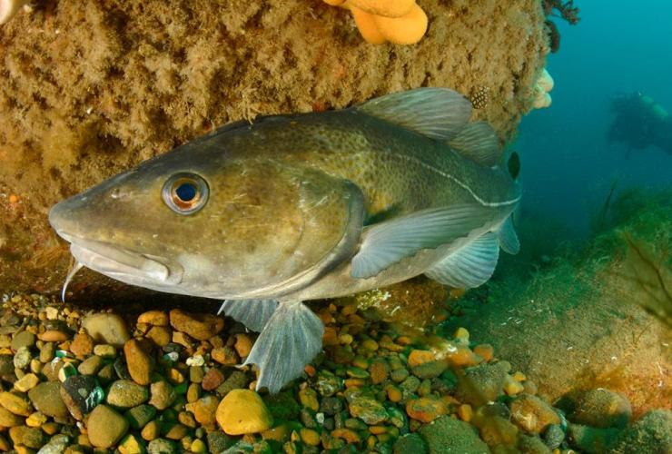 Atlantic cod,