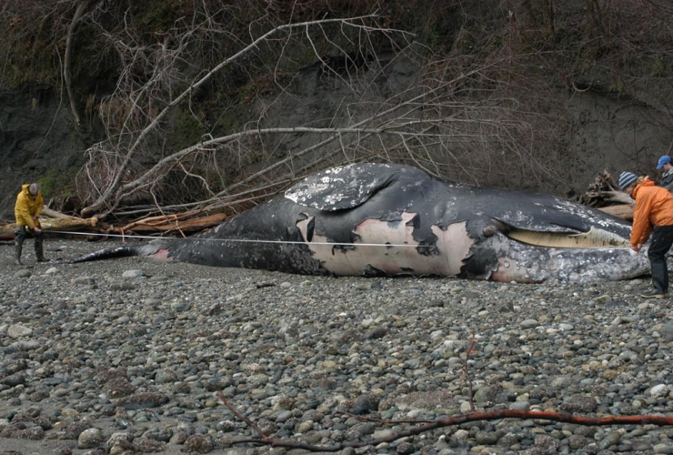 dead grey whale,