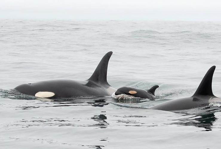 newborn, southern resident killer whale calf,