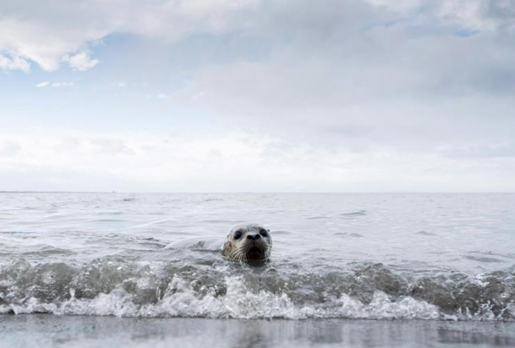 Seal pups, released, ocean, Iona Beach, Richmond, B.C.,