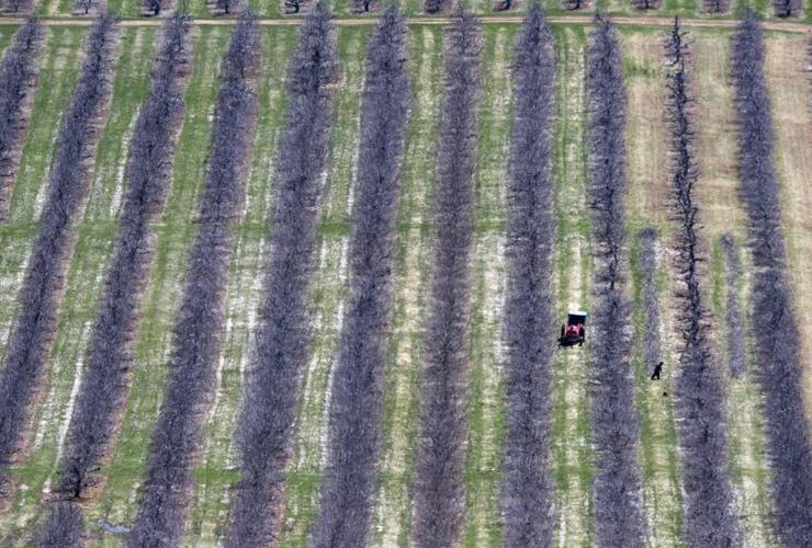 Workers, prune, fruit trees, Pereaux,
