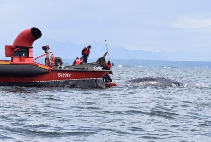 Crews, dead grey whale, Coast Guard hovercraft, Boundary Bay,