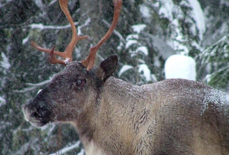 Southern Selkirk caribou herd,