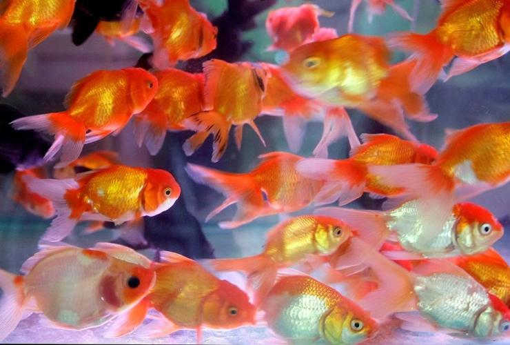 Goldfish, Hanoi, Vietnam,