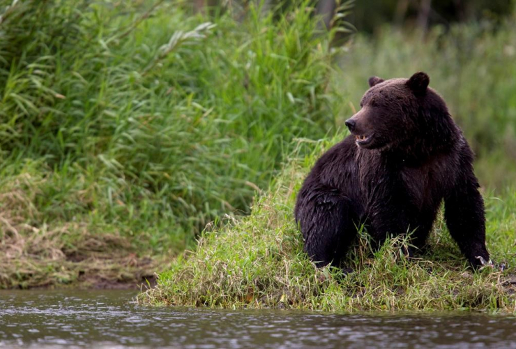 grizzly bear, fishing, river, Tweedsmuir Provincial Park, Bella Coola,