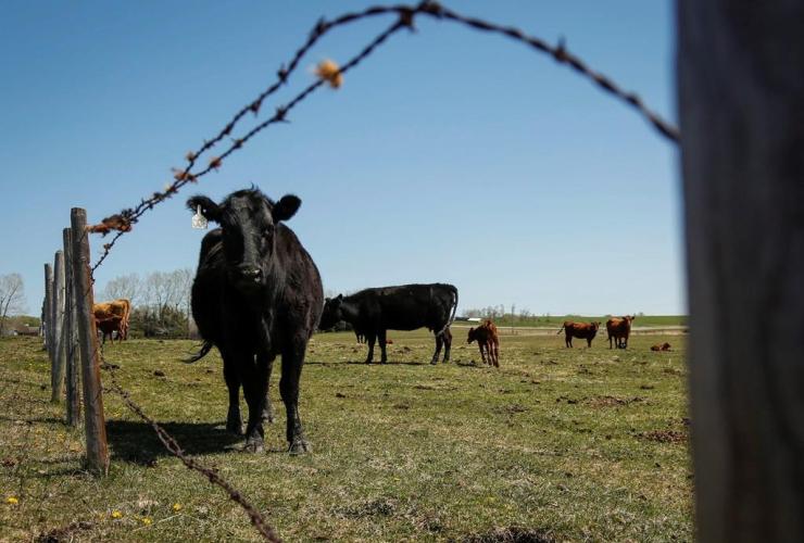 cow, pasture, ranch, Cremona
