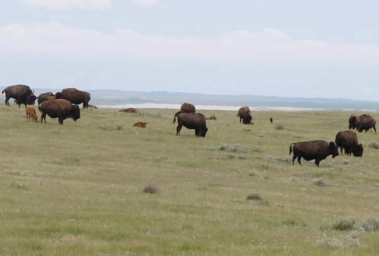 herd, Prairie bison, graze, Old Man on His Back Prairie, Heritage Conservation Area,