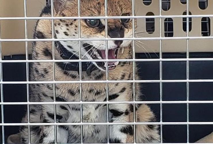 serval cat,