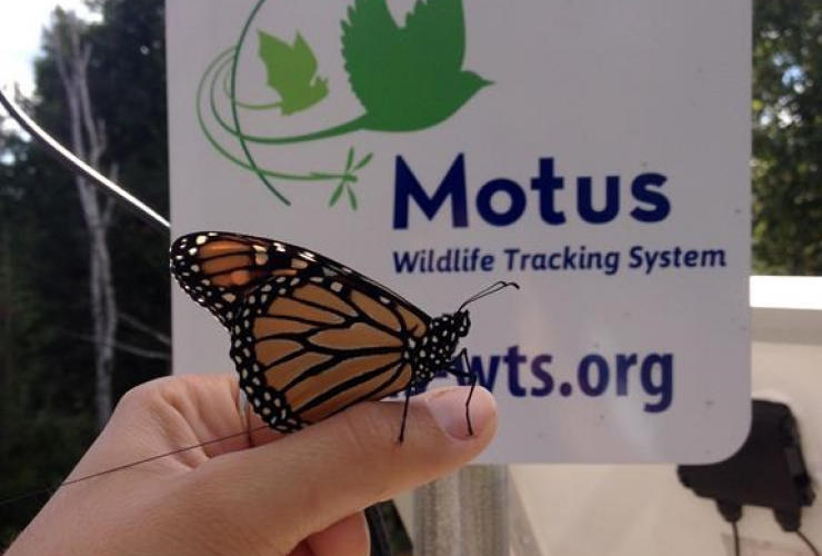 Researchers, butterflies, tiny radio-tracking fanny packs, track, distance, speed, fall migration,