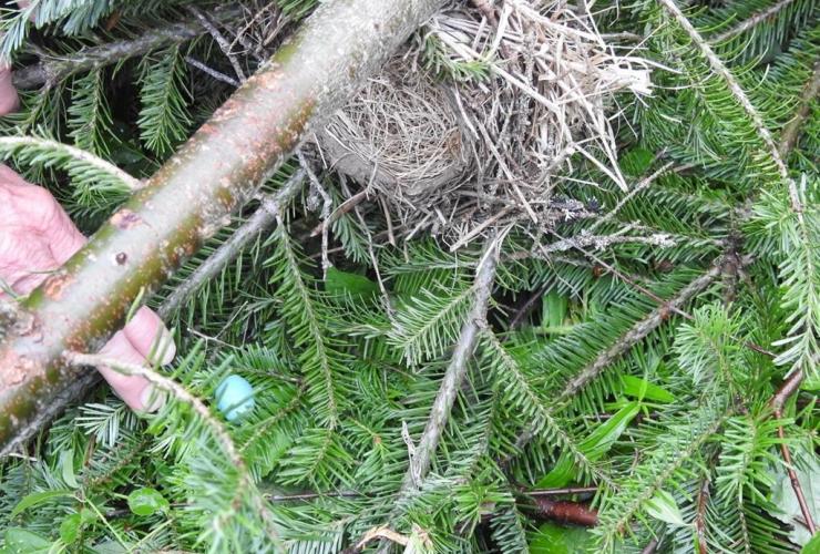 nest, American robin, eggs,