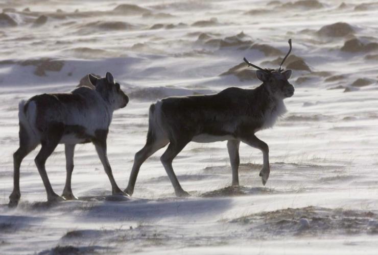 Wild caribou, tundra, Meadowbank Gold Mine, Nunavut,