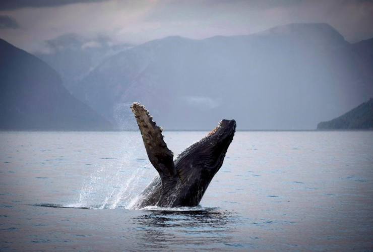 humpback whale, Hartley Bay, Great Bear Rainforest,