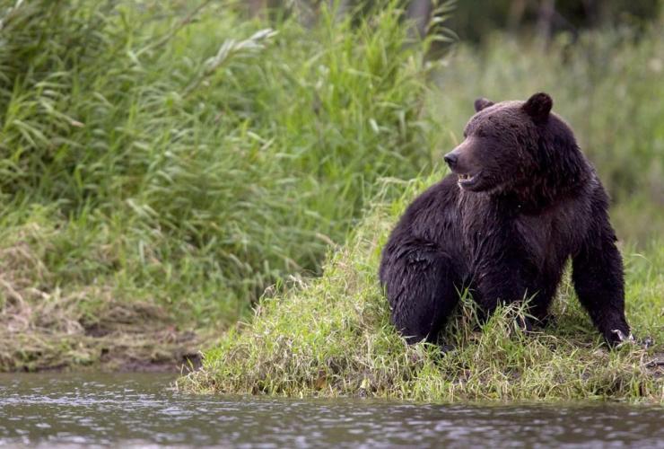 grizzly bear, fishing, Tweedsmuir Provincial Park, Bella Coola,