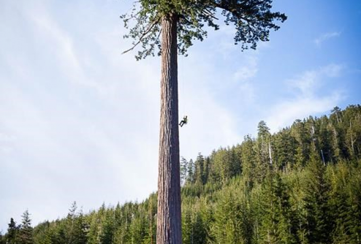 tree climber, Douglas-fir tree, Big Lonely Doug, Cowichan Valley,