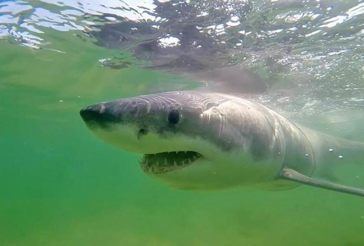 great white shark, Jamison,